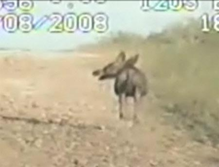 Caught On Tape: The Chupacabra (2008 – Deputy Dashboard camera case)