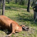 Cattle Mutilation in Santa Fe, Argentina