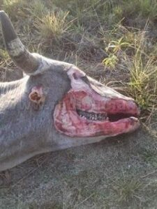Another Mutilated Cow in Argentina