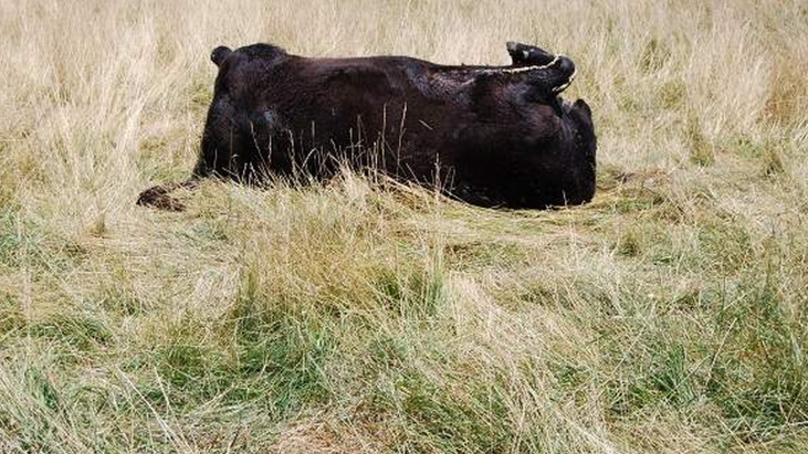 Missouri rancher suspects something out of the ordinary is mutilating and killing cattle